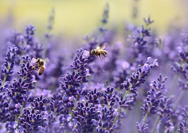 včely u levandule